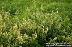 Silverrod (Solidago bicolor), found at New England Wetland Plants
