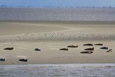 Waddenzee, zeehonden. Seals on a beach, Waddenzee island, Netherlands
