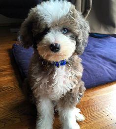 Aussie Poo, Toy Aussie, Animals And Pets, Baby Animals, Cute Animals, Miniature Aussie, Poodle Cross Breeds, Australian Labradoodle Puppies, Maltipoo