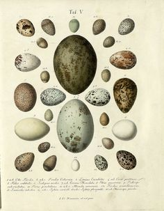 Bird eggs: Hand-coloured engravings from 1818 by JF Naumann