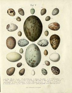 Bird eggs: Hand-coloured engravings from 1818 by JF Naumann