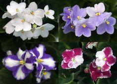 01월 19일의 꽃 - 아프리칸바이올렛 , 꽃말은 '작은 사랑' 출처 : 농진청 송정섭박사