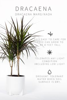List of Low Light Indoor Plants Low Light Indoor Plant- Dracaena Care Info. See full list of low light indoor plants by clicking through. See full list of low light indoor plants by clicking through. Dracaena Marginata, Indoor Plants Low Light, Outdoor Plants, Garden Plants, Plants Indoor, Full Sun Plants, Hanging Plants, Hanging Baskets, Indoor Gardening