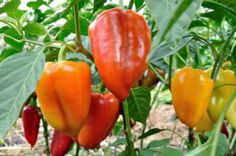Harvesting | How To Grow Peppers From Seeds