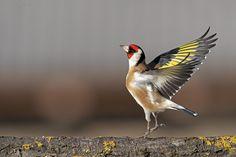 Goldfinch, Banner, Birds, Animals, Pictures, Banner Stands, Animales, Animaux, Bird