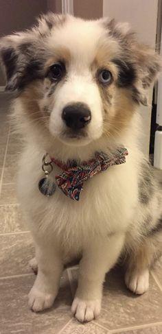 Aussie Blue Merle puppy