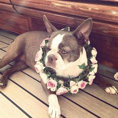 Tatiana Santo Domingo's dog Daphnee at the pre wedding party