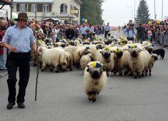 Désalpe de Semsales - Moutons Nez Noirs du Valais (1) Comme, Switzerland, Pugs, Country, Places, Animals, Beautiful, Sheep, Black People