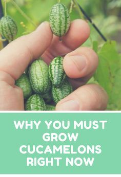 Why you MUST grow cucamelons right now