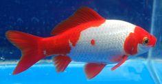 Goldfish - Very nice Sarassa