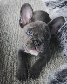The cutest little French Bulldog with blue eyes and a gray coat. Obsessed with this lil nug. The cutest little French Bulldog with blue eyes and a gray coat. Blue French Bulldog Puppies, Cute French Bulldog, Teacup French Bulldogs, Blue Bulldog, French Bulldog Clothes, Bulldog Names, Cute Dogs And Puppies, Doggies, Beagle Pups