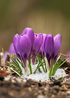 Spring Crocus by Mircea Costina Photography Black Flowers, Tiny Flowers, Flowers Nature, Large Flowers, Amazing Flowers, My Flower, Spring Flowers, Flower Power, Beautiful Flowers