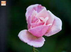 #Pink #Rose #close_up #countryside #Photography #Morocco #Spring #Tetouan #maroc #marruecos #tetuan #nature