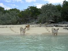 Photography Bahamas Beach Pigs Shore to Sea by WoodGlassAndPaper