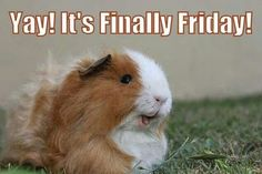 Guinea Pigs are only happy when it's Friday