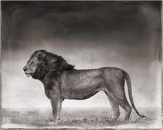 Portrait_of_lion_standing_in_wind