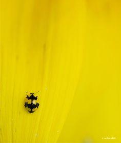 Fungus-eating Ladybird (Illeis galbula) V by Niko Vass, via 500px