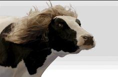 Fabio cow: