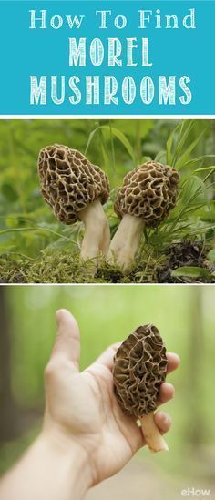 Don't count on cultivating morels in your garden! This spongy critter is one of the few plants that cannot be successfully cultivated. It's the single most popular wild mushroom on the continent and, according to throngs of admirers, the best tasting. Moral Mushrooms, Edible Wild Mushrooms, Growing Mushrooms, Stuffed Mushrooms, Culture Champignon, Mushroom Hunting, Mushroom Fungi, Wild Edibles, Edible Plants