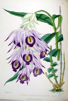 Orquídeas - Thunia bensoniae; Phaius bensoniae