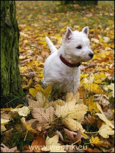 Westie. Autumn leaves.