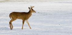 12 Tactics for Winter Whitetails --buck walking on snow