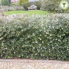   Osmanthus x Burkwoodii   - schijnhulst -voor een strakke haag snoeien in maart en augustus- zeer geschikt voor vormsnoei -witte bloem -bloei: april/mei -150cm/200cm -winterhard -1plant per vierk. meter -2 planten per lm -hagen/plantvakken/solitair -zon/halfschaduw