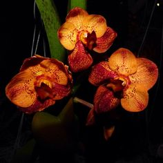 Ascocenda orchid - this #tropical #orchid is native to Thailand, Malaysia and Phillippines. It requires warm temperatures, high #humidity and bright light.