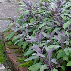Salvia officinalis 'Purpurascens' (Common sage, Culinary sage, Purple sage) - Fine Gardening Plant Guide