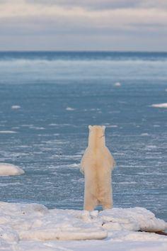 Polar Bears In Danger (●TωT。)