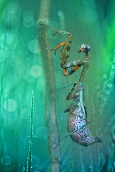 Mantis. Photograph by Wil Mijer.