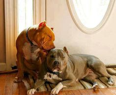 Adult pittbulls