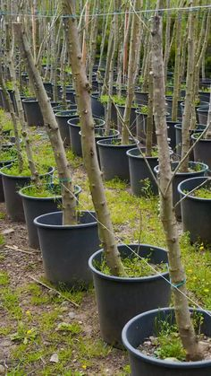 Growing fruit trees in buckets or a similar container is an excellent way to cultivate your own fruit, even in small spaces. garden vegetable videos 12 Fruit Trees You Can Grow In Buckets Dwarf Fruit Trees, Growing Fruit Trees, Fruit Plants, Fruit Garden, Growing Tree, Small Fruit Trees, Potted Garden, Diy Garden, Garden Trellis