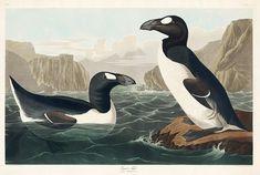 great auk - Google Search Beagle, University Of Pittsburg, Great Auk, A4 Poster, Poster Prints, Audubon Birds, Audubon Prints, Birds Of America, Thing 1