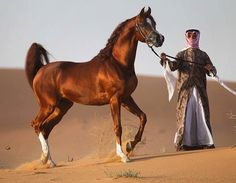 Most Popular how Horse Breeds in the World Arabian 2018 Hd Beautiful Arabian Horses, Most Beautiful Horses, Majestic Horse, Animals Beautiful, Cute Horses, Pretty Horses, Arabic Horse, Horse World, Horse Pictures