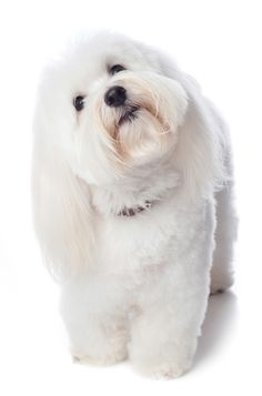 The Coton de Tulear | Modern Dog magazine