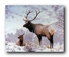 Simply amazing! Complement your home décor with this large bull elk animal art print poster. This poster captures the image of pair of bull elk, one is sitting and one is standing in a snow field that is sure to brighten up any place and bring glance and unique character to your home. This poster is made of using eco-solvent inks on high quality paper which ensures stunning clarity and color accuracy. Order today and enjoy your surroundings.