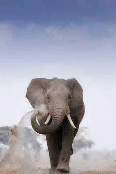 Young Bull Elephant at Amboseli by Billy Dodson
