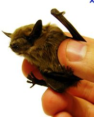 Microbats come out to play at dusk, chasing moths. Cute as buttons!