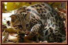 L'oncille. L'oncille est un animal principalement nocturne, mais peut être actif pendant la journée. Bien qu'il soit principalement terrestre, il est bien adapté pour l'escalader. Généralement solitaire, on peut le voir en couple pendant les saisons de reproduction. À l'état sauvage, les mâles peuvent être extrêmement agressifs envers les femelles, et il n'est pas rare pour cette espèce de tuer des animaux plus grands qu'eux.