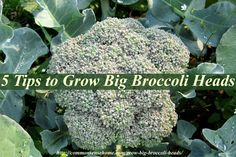 5 Tips to Grow Big Broccoli Heads, plus general broccoli growing requirements, broccoli companion plants, and troubleshooting tips for broccoli problems.
