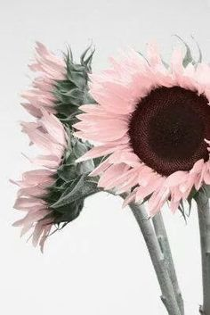 ~ Pink Sunflowers ~