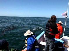 Friendly Grey whales in San Ignacio lagoon