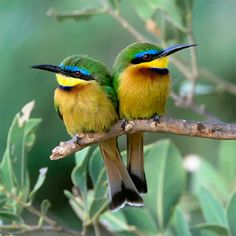 Little Bee Eater Bird