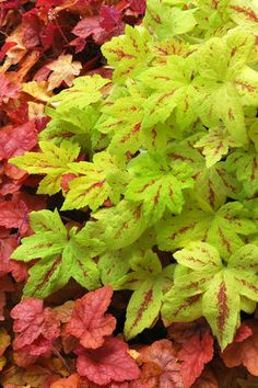 Heucherella 'Sunrise Falls' trailing foamy bells, great container plant or ground cover got to check this one out! Shade Garden, Garden Plants, Coral Bells Heuchera, Sutton Seeds, Deer Resistant Plants, Plantar, Shade Plants, Container Plants, Dream Garden