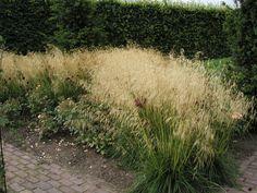 Deschampsia cespitosa Goldschleier - Gräs och bambu - Växter