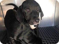Fort Myers, FL - Labrador Retriever Mix. Meet PENELOPE, a puppy for adoption. http://www.adoptapet.com/pet/17898277-fort-myers-florida-labrador-retriever-mix