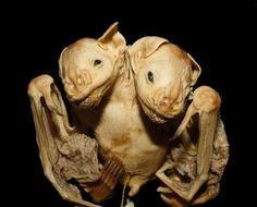 Conjoined Bat Twins Found in Brazilian Forest http://news.nationalgeographic.com/2017/07/conjoined-bat-twins-spd/?utm_content=buffer65a3e&utm_medium=social&utm_source=pinterest.com&utm_campaign=buffer
