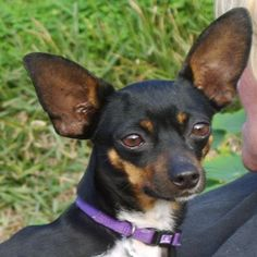 My daughter has one named Ellie. But personally, I believe she's more mine. Rat Terriers, Rats, Chihuahua, San Diego, To My Daughter, Adoption, Meet, Lol, Animals