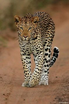 Leopard...Pure eyes speaking wordless depth.